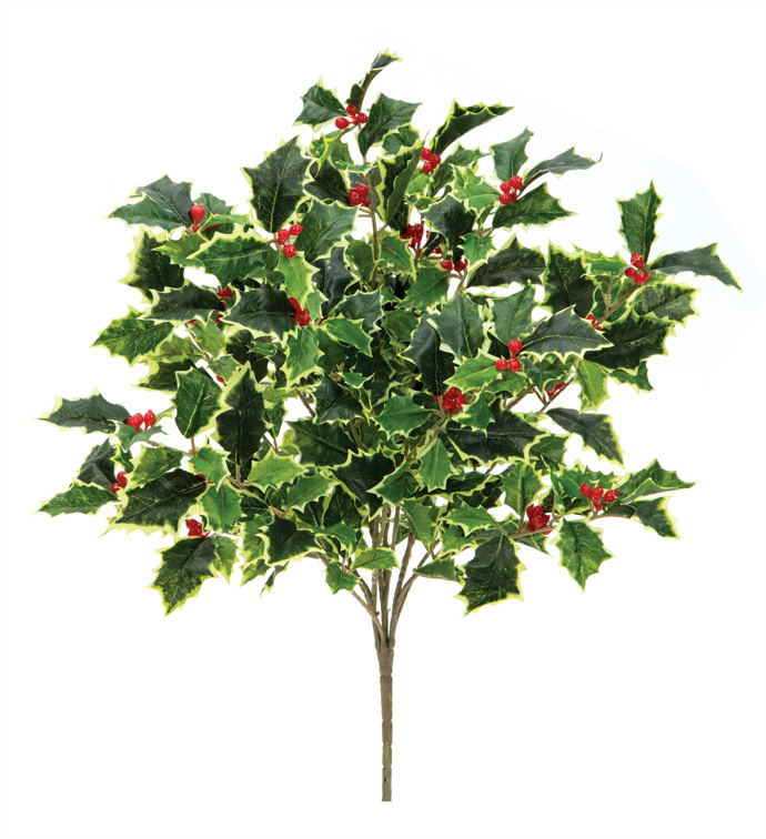 Variegated Holly Berry Bush