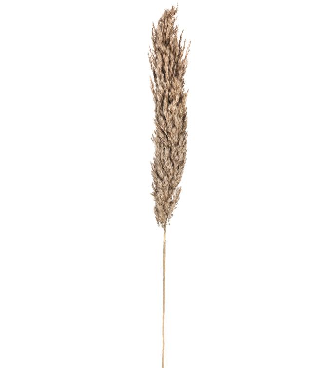 Tall Plume Grass Spray